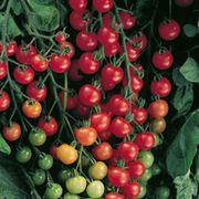 Supersweet 100 Hybrid Cherry Tomato Seeds Thumb