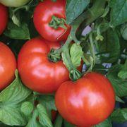 Park's Season Starter Hybrid Tomato Seeds Thumb