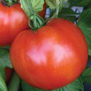 Park's Season Starter Hybrid Tomato Seeds Alternate Image 1