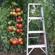 Park's Whopper CR Improved Hybrid Tomato Seeds Alternate Image 1