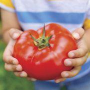 Big Beef Hybrid Tomato Seeds Thumb
