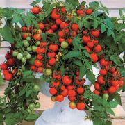 Maskotka Hybrid Cherry Tomato Seeds Thumb