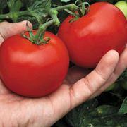 Mega Bite Hybrid Tomato Seeds Thumb