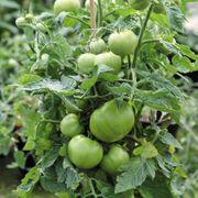 Mega Bite Hybrid Tomato Seeds Alternate Image 1