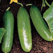 Diva Cucumber Seeds Thumb