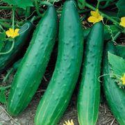 Garden Sweet Burpless Cucumber Seeds Thumb