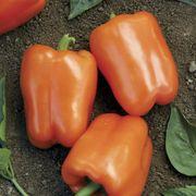 Orange Blaze Hybrid Pepper Seeds Thumb