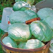 Tropic Giant Hybrid Cabbage Seeds Thumb