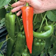 Atris Hybrid Pepper Seeds Thumb