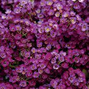 Clear Crystal® Purple Shades Sweet Alyssum Seeds Thumb