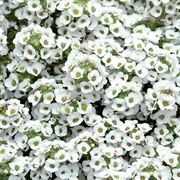 Clear Crystal® White Sweet Alyssum Seeds Thumb