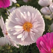 'Cupcakes and Saucers Mix' Cosmos Seeds Alternate Image 1