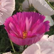 'Cupcakes and Saucers Mix' Cosmos Seeds Alternate Image 2