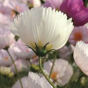 'Cupcakes and Saucers Mix' Cosmos Seeds Alternate Image 3