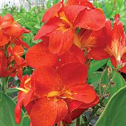 South Pacific Scarlet Canna Seeds Thumb