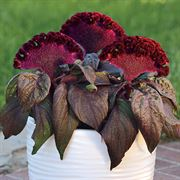 Dracula Celosia Seeds Alternate Image 1