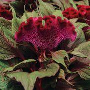 Dracula Celosia Seeds Thumb