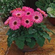 Majorette Pink Halo Gerbera Daisy Seeds Thumb