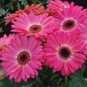 Majorette Pink Halo Gerbera Daisy Seeds Alternate Image 1