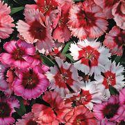 Super Parfait Mix Dianthus Seeds Thumb