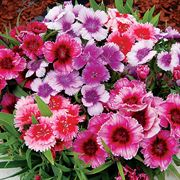 Diana Picotee Mix Dianthus Seeds Thumb