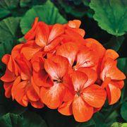 Pinto™ Premium Orange Geranium Seeds Thumb
