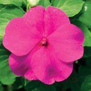 Accent™ Premium Lilac Hybrid Impatiens Seeds Thumb