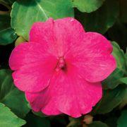 Accent™ Premium Rose Hybrid Impatiens Seeds Thumb