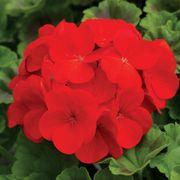 Pinto™ Premium Deep Red Hybrid Geranium Seeds Thumb