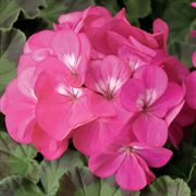 Pinto™ Premium Deep Rose Hybrid Geranium Seeds Thumb
