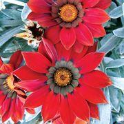 Frosty Kiss™ Red Hybrid Gazania Seeds Thumb
