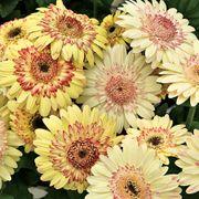 Cartwheel® Strawberry Twist Gerbera Daisy Seeds Thumb