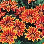 Frosty Kiss™ Orange Flame Hybrid Gazania Seeds Thumb