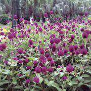 Las Vegas Purple Gomphrena Seeds Thumb