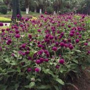 Las Vegas Purple Gomphrena Seeds Alternate Image 1