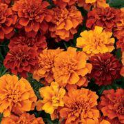 Fireball Marigold Seeds Thumb