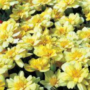 Alumia Vanilla Cream Marigold Seeds Thumb