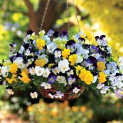 Cool Wave® Mix Pansy Seeds Thumb