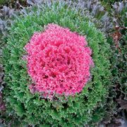 Glamour Red Ornamental Kale Seeds Thumb