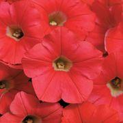 Shock Wave® Coral Crush Petunia Seeds Thumb