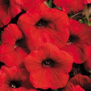 Shock Wave® Red Petunia Seeds Thumb