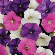 Shock Wave® Spark Mix Petunia Seeds Thumb