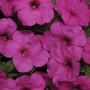 Easy Wave® Neon Rose Petunia Seeds Thumb