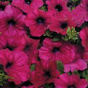 Wave® Purple Improved Hybrid Petunia Seeds Thumb