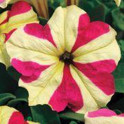 Sophistica® Lime Bicolor Petunia Seeds Thumb