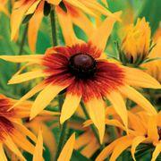 Cappuccino Rudbeckia Seeds Alternate Image 1