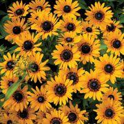 Denver Daisy Rudbeckia Seeds Thumb