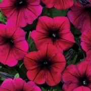 Shock Wave® Deep Purple Petunia Seeds Thumb