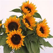 Zohar F1 Organic Sunflower Seeds Alternate Image 1