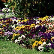 Spring Matrix™ Blotch Mix Pansy Seeds Thumb